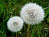 Pusteblumen (Foto dresch) Tags: danielresch fotodresch dresch pflanzen plants natur nature umwelt environment löwenzahn pusteblume blowball dandelion samen