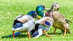 OK so a menage a trois is out of the question then! (I was blind now I see!) Tags: menage trois duck ducks duckslife beaks sex marraige coulples couple domestic squabble argument fight biting bite