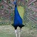 Indian Peafowl in Havana