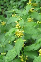 Lamium galeobdolon (gabrielterraz) Tags: viviersdulac savoie france lamiaceae lamium