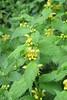 Lamium galeobdolon (Gabriel Terraz) Tags: viviersdulac savoie france lamiaceae lamium