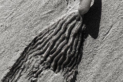 Kelp and Sand (Thad Zajdowicz) Tags: zajdowicz santabarbara california availablelight canon eos 5dmarkiii 5d3 dslr digital lightroom ef24105mmf4lisusm travel blackandwhite bw black white monochrome gray kelp seaweed beach sand nature plant flora abstract arty diagonal highcontrast