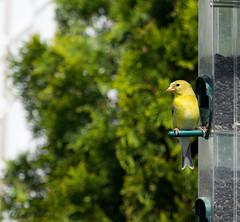 DSC_0735 (luciesimard) Tags: chardonneret oiseau