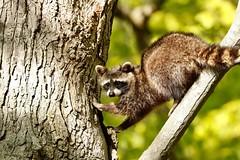 Raccoon (kidbirder) Tags: