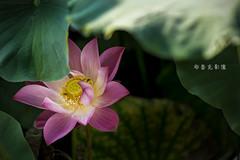 D66_9943 (brook1979) Tags: 台北市 植物園 荷 蓮 荷花 蓮花 葉 花 lotus flower