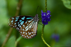 Flower and Butterfly (kimtetsu) Tags: 香港 hongkong 花 flower 蝶々 butterfly 昆虫 insect