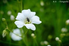 Besucher / Visitor (R.O. - Fotografie) Tags: blume flower besucher insekt insect bokeh natur nature visitor blüte blossom rofotografie panasonic lumix dmcfz1000 dmc fz1000 fz 1000