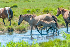07082017-287-1 (bjf41) Tags: chincoteague horses wild herd colts