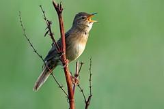 Grasshopper Warbler , Eastern Scotland.. (Paul Jessett) Tags: grasshopper warbler scotland