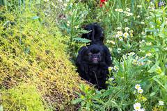Зверушки 0406 (2016.06.01) (vladsky78) Tags: ильичёвск животные зелень цветы поле собака