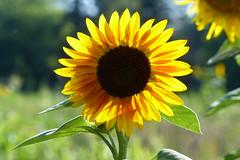Sunshine (ivlys) Tags: darmstadt park rosenhöhe oberfeld sonnenblume sunflower sonnenschein sunshine blume flower blüte blossom pflanze plant natur nature makro macro ivlys