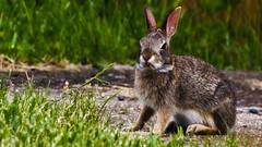 'Wild Thing'🐇 (Bob's Digital Eye) Tags: 2017 animal bobsdigitaleye canon canonefs55250mmf456isstm depthoffield fauna flicker flickr garden outside rabbit softfocus t3i wildlife 🐇