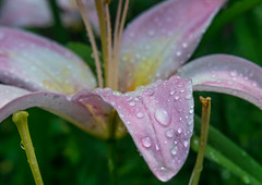 Too Wet to Wilt (tquist24) Tags: indiana nikon nikond5300 outdoor bokeh flower flowers garden green lilly macro nature pink water waterdrops white yard