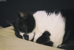Sleepy time (GaboUruguay) Tags: sleep sleepy cat gato pet canon profile portrait retrato perfil felino minino kitten sleeping durmiendo mascota animal domestico carnivora