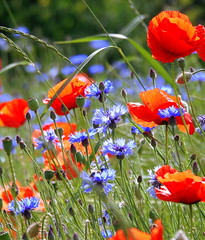 JUNI : Mohn & Kornblumen (swetlanahasenjäger) Tags: yourbestoftoday poppys doublefantasy kornfeld kornfeldblumen mohnblumen sommer juni saariysqualitypictures coth fantasticnature coth5