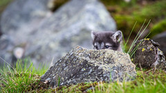Hiding (CecilieSonstebyPhotography) Tags: arctic rock portrait fox endangered closeup alopexlagopus hiding canon tiny 6weeksold bokeh norway baby markiii whitefox small puppy langedrag summer canon5dmarkiii snowfox adorable grass ef70200mmf28lisiiusm cute cub polarfox specanimal specanimalphotooftheday