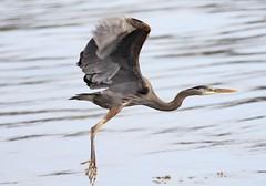 Great Blue Heron taking off (Paul Cottis) Tags: bird heron victoria oakbay paulcottis may 2017 19 flight