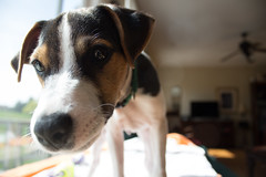 Nosey Dooley (marylea) Tags: apr22 2017 spring dooley parsonrussellterrier parsonrussell dog puppy prt jrt jackrussellterrier jackrussell terrier 15weeksold