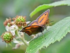 Gatekeeper in Ryton Woods (robmcrorie) Tags: ryton woods warwickshire coventry butterfly nature reserve wildlife nikon d7500 200600 ed vt lens gatekeeper hedge brown