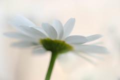 aérienne (christophe.laigle) Tags: aérienne fleur macro xf60mm blanc flower fuji nature daisy white xpro2 marguerite christophelaigle ngc