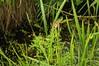 Schwanenblume (Butomus umbellatus); Bergenhusen, Stapelholm (2)