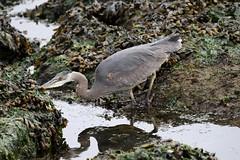 Great Blue Heron searching for fish (Paul Cottis) Tags: paulcottis 18 may 2017 vancouverisland bird heron victoria oakbay