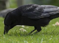 Crow Foraging (grahambrown1965) Tags: smcpentaxda60250mmf4edifsdm pentax k3ii crow crows bird birds carrion nature ricohimagingcompanyltdpentaxk3ii flucard