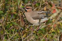 HNS_0881 Pestvogel : Jaseur boreal : Bombycilla garrulus : Seidenschwanz : Bohemian Waxwing