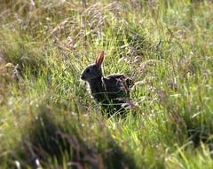 Bright Eyes (PeskyMesky) Tags: aberdeenshire rabbit nature springwatch collieston forvie scotland flickr