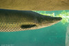 DSC_0074 (nicotr) Tags: 20170610 arapaima poisson zoo