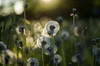 dandelion magic (Stefano Rugolo) Tags: pentax k5 summer 2017 green countryside hälsingland sweden perspective outdoor light magic depthoffield plant smcpentaxm50mmf17 grass bokeh evening dandelion stefanorugolo