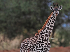 World Giraffe Day - 6925b+ (teagden) Tags: masaigiraffe masai giraffe giraffecalf calf young jenniferhall jenhall jenhallphotography jenhallwildlifephotography wildlifephotography wildlife nature naturephotography photography wild nikon worldgiraffeday tsavo west tsavowest tsavokenya tsavoafrica dkgrandsafaris safari kenyasafari africasafari africansafari oxpecker kenya kenyawildlife kenyaafrica africa africanwildlife african africanphotography