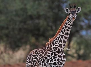 World Giraffe Day - 6925b+