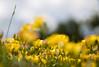 quietness (ByotA .... OFF) Tags: summer life contradiction flowers yellow pov omar byota canoneosrebelt6i 2017 music classic vivaldi incredibleomar haveawonderfulweek thankyou happyweekendomar