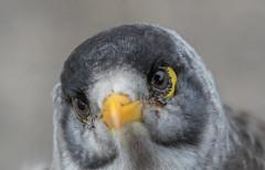 noisy miner (Manorina melanocephala)-1919 (rawshorty) Tags: rawshorty birds canberra australia act portmacquarie