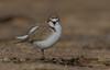 red-capped plover (Charadrius ruficapillus)-5305 (rawshorty) Tags: rawshorty birds australia nsw portmacquarie