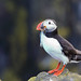 It's Puffin Time!