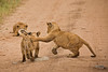 Lions of Maasai Kopjes 441 (Grete Howard) Tags: bestsafarioperator bestsafaricompany africa africansafari africanbush africananimals whichsafaricompany whichsafarioperator tanzania serengeti animals animalsofafrica animalphotos lions lioncubs maasaikopjes kopjes kopje