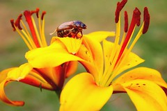 Afternoon (stellagrimsdale) Tags: bug bugs lilly flower summer insects lillys macro yellow pollen stamen plants petal