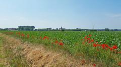 op weg naar Middelburg (peter.velthoen) Tags: landbouw zomer fietstocht dorpsgezicht grens zeeuwsvlaanderen middelburg dorpskerk stadskerk vlaanderen grensstreek klaprozen