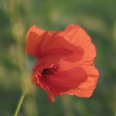 En douce heure (nathaliedunaigre) Tags: poppy macro windy danslevent douceur softness bokeh carré square nature red rouge petals pétales transparence transparency délicatesse delicacy
