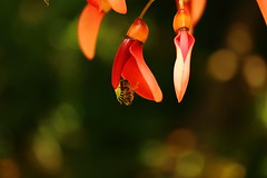 IMG_2759 (okiee8125) Tags: 浜離宮恩賜公園 庭園 park アメリカデイゴ 蜂 bee
