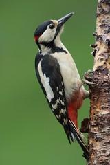 Woodpecker (bilska.anna) Tags: wordofnaturethebest natureuk nature woody woodpecker birdsuk ukbirdsuk britishwildlife britishanimal