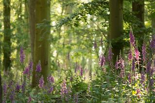Foxglove Wood