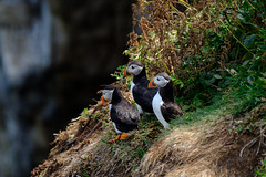 Three Amigos looking out to sea (OgniP) Tags: puffin bird seabird puffins