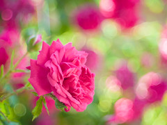 Pink & Green (Karsten Gieselmann) Tags: blumen blüten domiplan50mmf28 em5markii farbe grün microfourthirds natur olympus pflanzen rose rot vintagelens blossom color flower green kgiesel m43 mft nature red