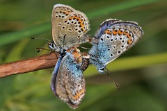 Trying to Butt in! (ashperkins) Tags: beautifulbugbuttthursday bugbutt butterfly silverstuddedblue plebejusargussspcaernensis plebejusargus greatorme llandudno northwales bbcwalesnature ashperkins