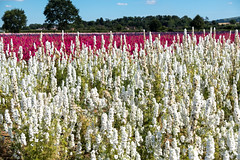 Confetti fields-2649 (Ruth Flickr) Tags: england wick worcestershire colour confetti delphinium farm field flora flowers horticulture larkspur seasonal summer white