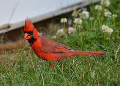 2017-07-09 Not a very friendly sort (tsegat01) Tags: red cardinal bird colorfulworldred cmwdred