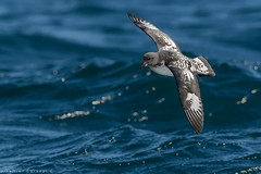 Petrel moteado. Daption capense. Cape petrel. (Daniel Sziklai G.) Tags: petrel moteado daptioncapense cape aves birds pelágico quintero chile pelagic